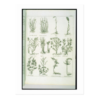 Plants from Culpeper's 'English Physician and Comp Postcard