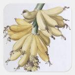 Plátano, 1816 pegatina cuadrada