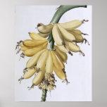 Plátano, 1816 póster