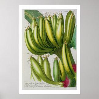 Plátano, grabado por Juan Jacobo Haid (1704-67) pl Poster