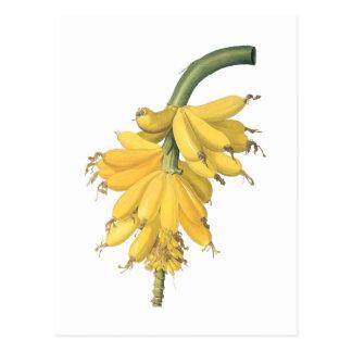 plátano (musa paradisíaca) por Redouté Tarjeta Postal