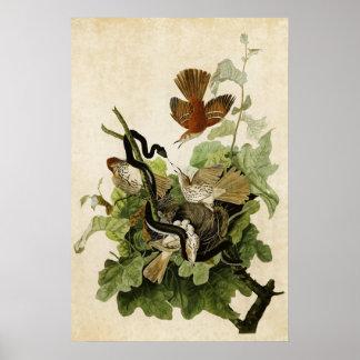 Plate 116 | Ferruginous Thrush | Birds of America Posters