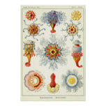 Plate 17 Siphonophorae Print