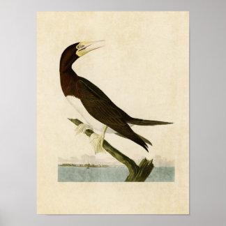 Plate 207 | Booby Gannet | Birds of America Poster