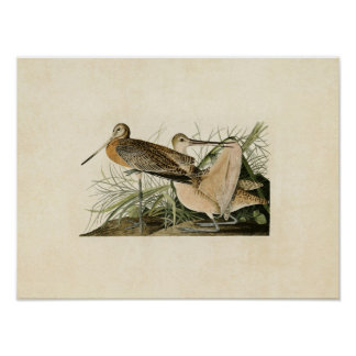 Plate 238 | Great Marbled Godwit Poster