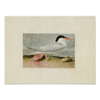 Plate 273   Cayenne Tern   Birds of America Poster