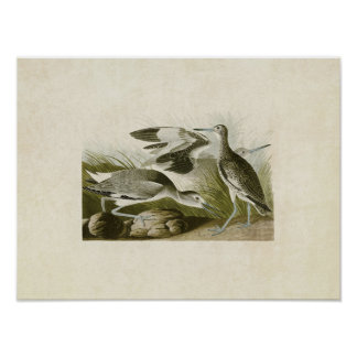 Plate 274 | Semipalmated Snipe or Willet Poster