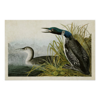 Plate 306 | Great Northern Diver or Loon Poster