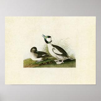 Plate 325 | Bufflehead Duck | Birds of America Poster