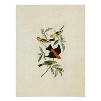 Plate 354 | Louisiana and Scarlet Tanagers Poster