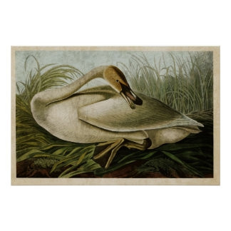 Plate 376 | Trumpeter Swan | Birds of America Poster
