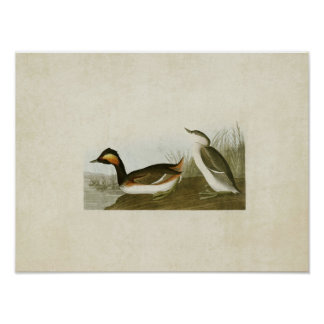 Plate 404 | Eared Grebe | Birds of America Poster