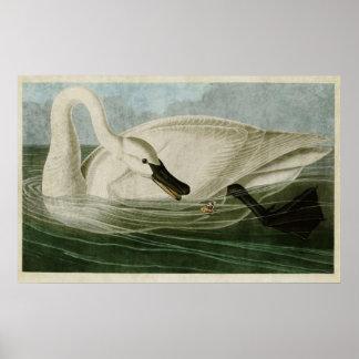 Plate 406   Trumpeter Swan   Birds of America Poster