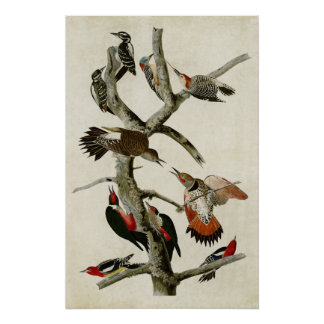 Plate 416   Assorted Woodpeckers Poster