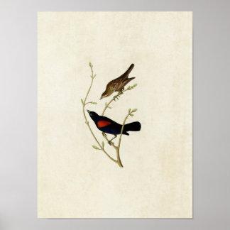 Plate 420 | Prairie Starling | Birds of America Poster
