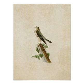 Plate 75 | Le Petit Caporal | Birds of America Poster