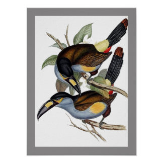 Plate-billed Mountain Toucan Poster