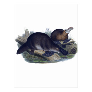 Platypus on a Log Illustration Post Cards