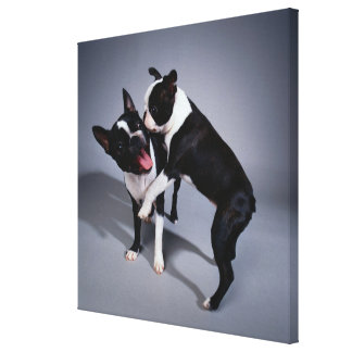Playful Boston Terriers Canvas Print