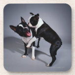 Playful Boston Terriers Drink Coaster