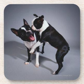 Playful Boston Terriers Drink Coaster