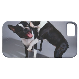 Playful Boston Terriers iPhone 5 Covers