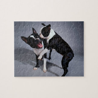 Playful Boston Terriers Jigsaw Puzzle