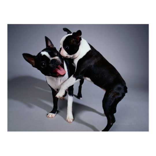 Playful Boston Terriers Postcard