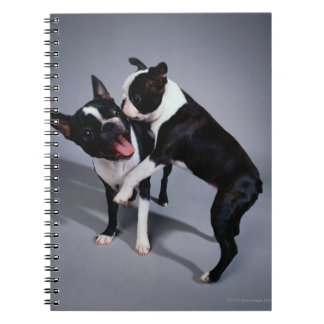Playful Boston Terriers Spiral Notebook