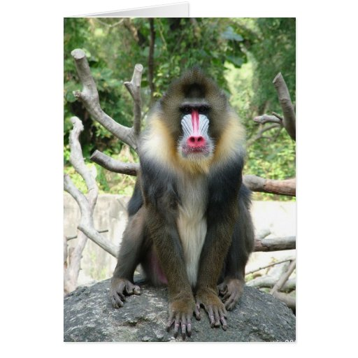 Playful, cute, smart and friendly baboons card