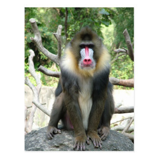 Playful, cute, smart and friendly baboons postcard
