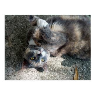 Playful Dilute Tortoiseshell Cat Postcard