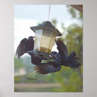 Playful Grackles blackbirds Print or Poster