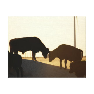 Playful Moo Cows playing in the Dusty Sunset Canvas Print