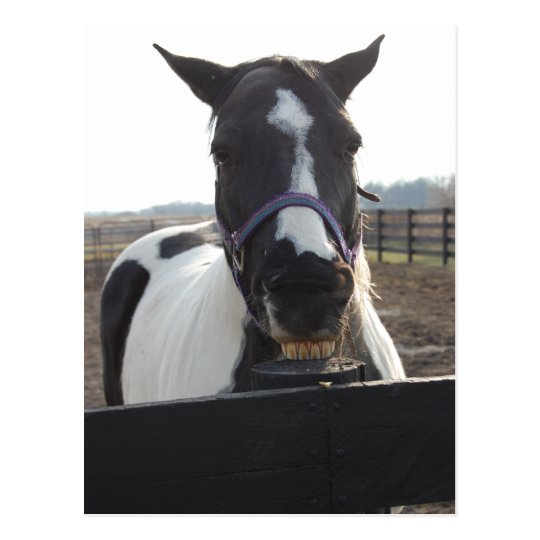 Playful Pinto Paint Horse Postcard