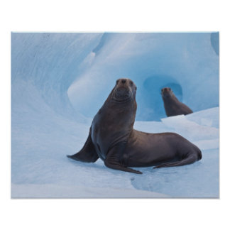 Playful stellar sea lions wrestle on iceberg poster