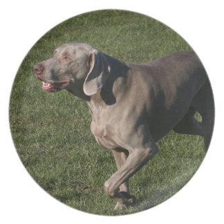 Playful Weimaraner Dog Plate