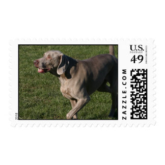 Playful Weimaraner Dog Postage Stamp