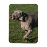 Playful Weimaraner Dog Premium Magnet Flexible Magnet