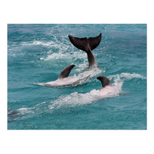 playing dolphins postcard