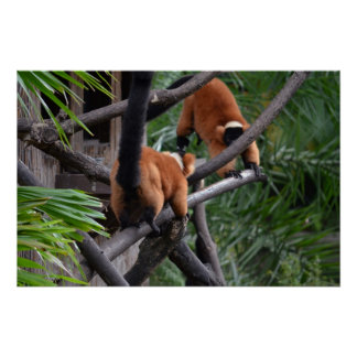 Playing Primates Red Bellied Lemurs Poster