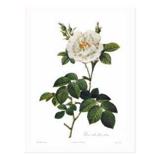 Plenos alba del flore de Rosa Postales
