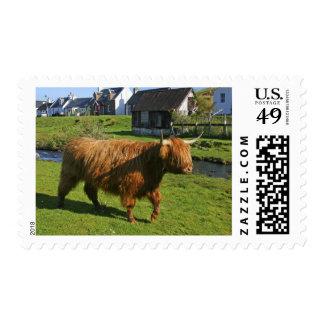 Plockton, Scotland. Hairy Coooo's (cows) doing Postage