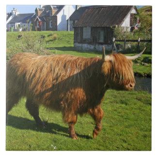 Plockton, Scotland. Hairy Coooo's (cows) doing Large Square Tile