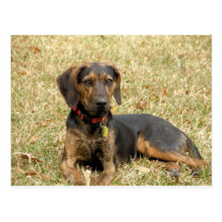 Plott Hound Postcard