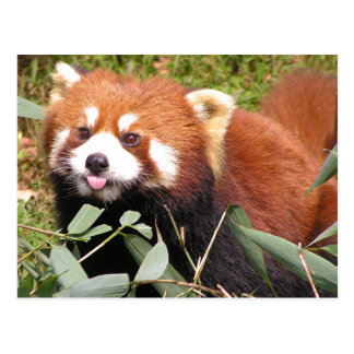 Plucky Red Panda Eats Bamboo, Makes Funny Face Postcards