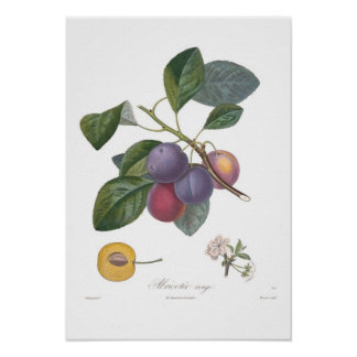 Plum Abricotee rouge Posters
