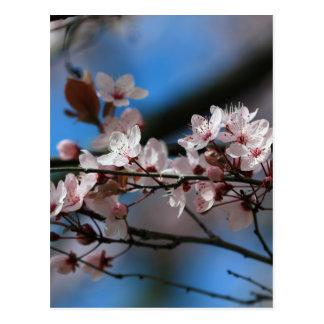 Plum blossom postcard