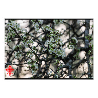 Plum Blossoms Photo Print