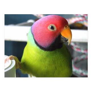 Plum Headed Parakeet Postcard